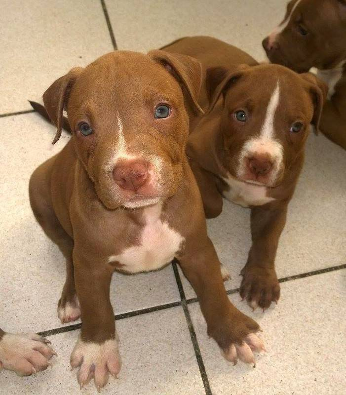 red nose amstaff dogs saint martin cyphoma