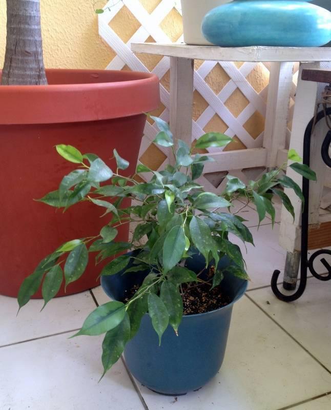 plantes palmiers bambou annonce bricolage jardinage baie nettle saint martin. Black Bedroom Furniture Sets. Home Design Ideas