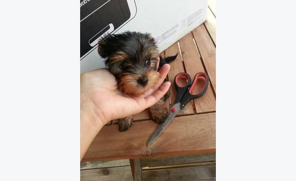 Bebes Yorkshire Toy Pure Race Chien Martinique Cyphoma