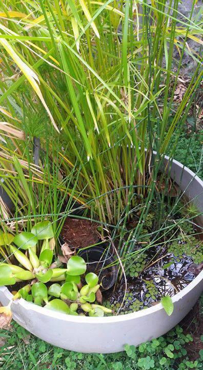 plante aquatique reunion