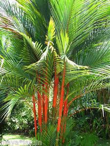 palmier rouge