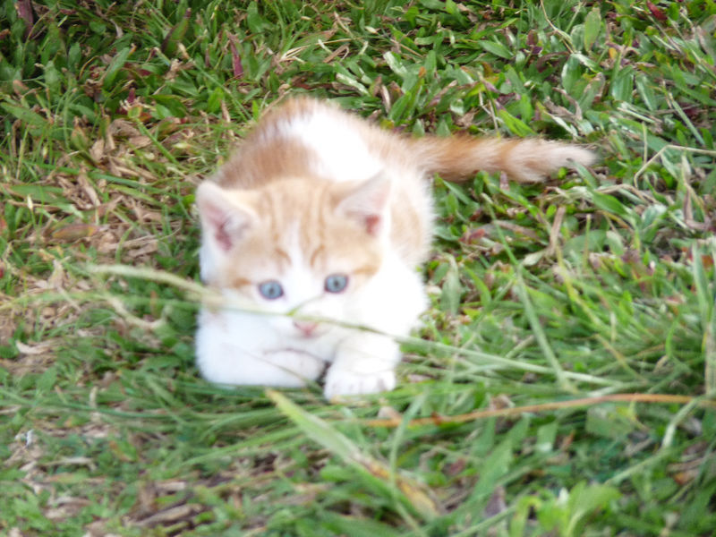 Chatons A Donner Chat Guadeloupe Cyphoma